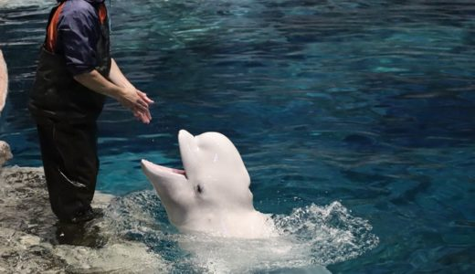名古屋港水族館のベルーガが可愛すぎる【かまって!ほめて!】