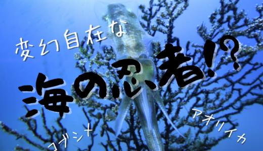 変幻自在な海の忍者!?【アオリイカとコブシメ】