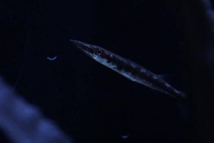 オニカマスの幼魚