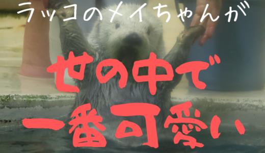 【鳥羽水族館】ラッコのメイちゃんが世の中で一番可愛い