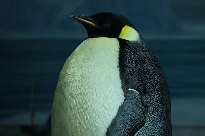 2019年撮影のコウテイペンギン
