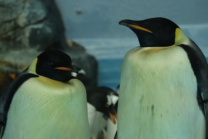 エンペラーペンギンのペア