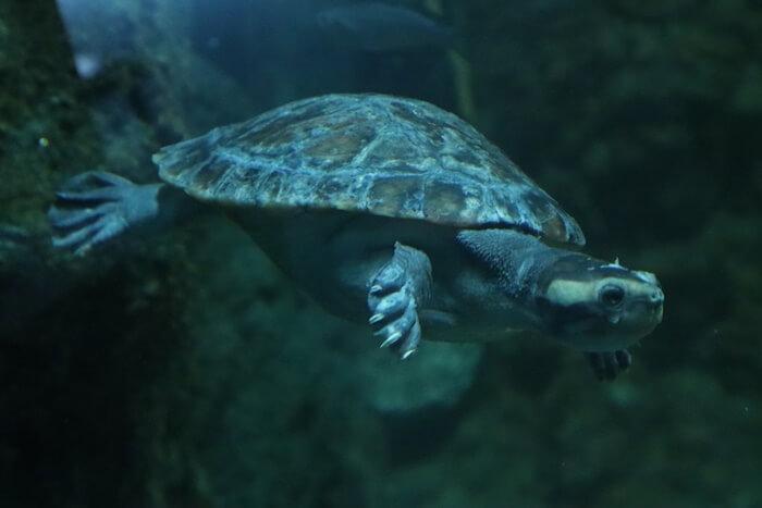 大人のニシキマゲクビガメ