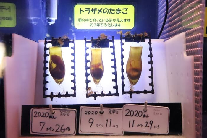 トラザメの卵